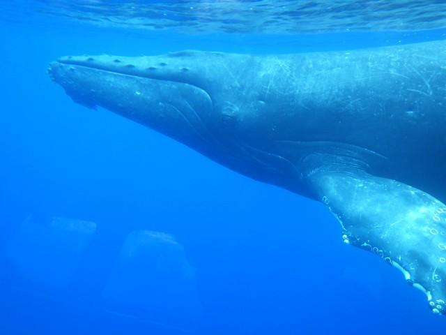 沖縄県内で唯一の水中観光船で行く ホエールウォッチングツアー。 船上からのホエールウォッチング&水中展望室からの透明度の高い海。 サンゴやサンゴ礁地形・熱帯魚を鑑賞。 クジラが船に近づいた時、 『水中ホエールウォッチング』のチャンスが! ※当社ではクジラが 見れなかった場合の返金はございません。
